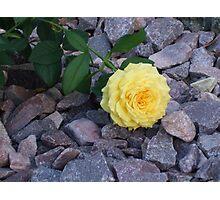 Yellow Rose and Glistening Rocks Photographic Print
