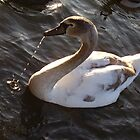 H R H`s Swan by tonymm6491
