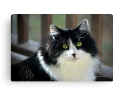 Male Tuxedo Maine Coon Cat | Middle Island, New York  Canvas Print