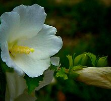 White Rose of Sharon by Lisa Taylor