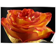 A Peachy Rose Poster