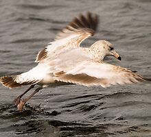 bird, avian, nature, seagull, Florida by Donnie Shackleford