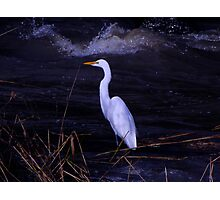 Great Egret in the Shadows Photographic Print