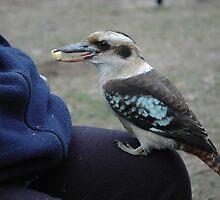 Kookaburra. by nJohnjewell