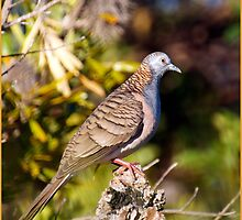 bar-shouldered dove by GrowingWild