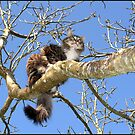 Maine Coon Cat in Tree by Koala