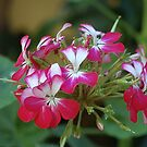 Pelargonium by Meeli Sonn