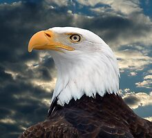 American Bald Eagle by Johnny Furlotte