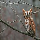 EASTERN SCREECH OWL - FRONT VIEW by Lori Deiter