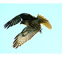 Young Red-tailed Hawk on the Hunt  Photographic Print
