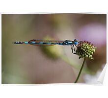 Blue River Damselfly. Poster