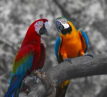 Macaws  by Marie Terry