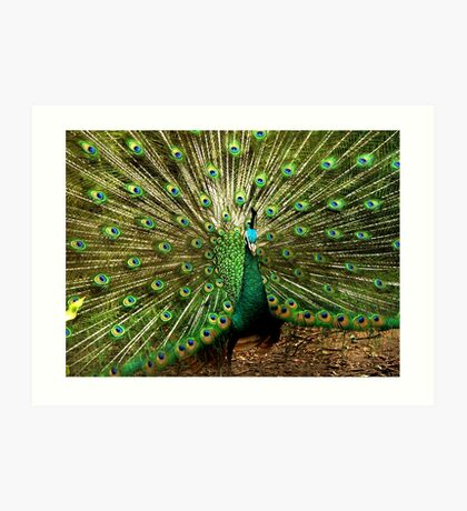 Peacock at Melbourne Zoo   Art Print