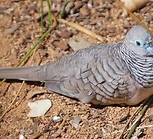 Peaceful Dove, Northern Territory, Australia by Adrian Paul