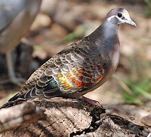Common Bronze Wing Pigeon, Northern Territory, Australia by Adrian Paul