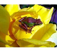 Yellow Rose Buddy  Photographic Print