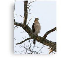Cooper's Hawk on Watch Canvas Print