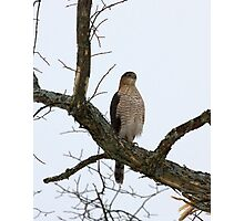 Cooper's Hawk on Watch Photographic Print