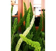 Asparagus ferns Photographic Print