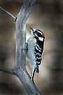 Downy Woodpecker by Renee Dawson
