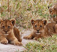 Lion Cubs, Central Kalahari Game Reserve, Botswana, Africa by Adrian Paul