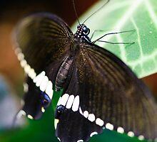 бабочка by Charles Dobbs Photography