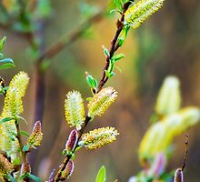Pussy Willow Abstract by Christina Rollo