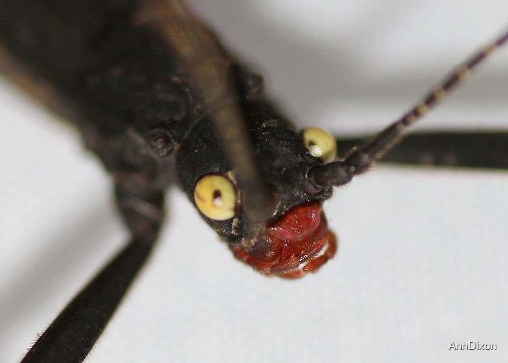 Up Close and Personal : Black Beauty (Peruphasma schultei) stick insect;  by AnnDixon