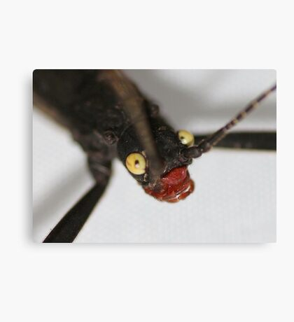 Up Close and Personal : Black Beauty (Peruphasma schultei) stick insect;  Canvas Print