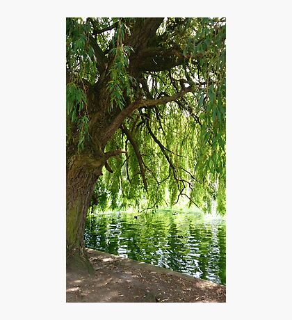 Willow Photographic Print