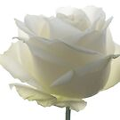 Romantic Rose by AnnieSnel