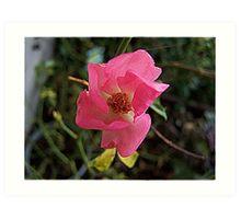 Pinky Pinky Rose Art Print