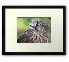 Kestrel chick Framed Print