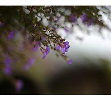 Lavender  Photographic Print