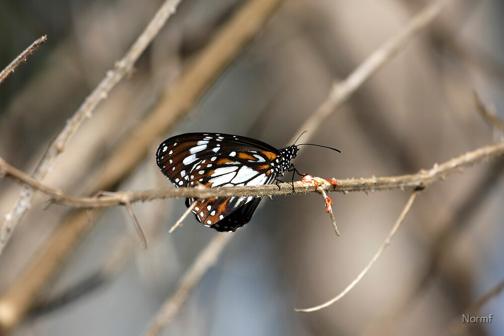 Danaus affinis (Swamp Tiger) Butterfly by Normf