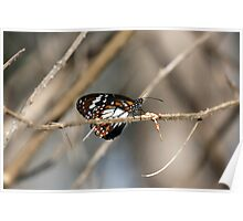 Danaus affinis (Swamp Tiger) Butterfly Poster