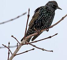 European Starling by lloydsjourney