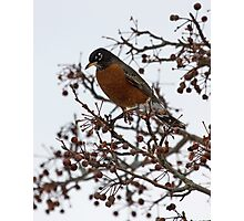 Beautiful Robin Photographic Print