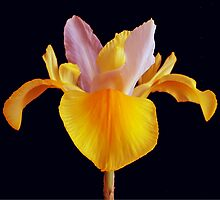 Yellow Iris by oztiger