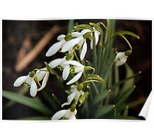 First sign of Spring: Snowdrops Poster