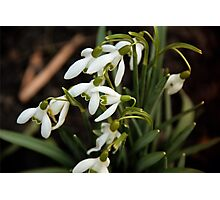 First sign of Spring: Snowdrops Photographic Print