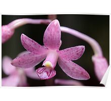 Native Orchid Poster