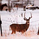 Buck Deer on Farm by Ryan Houston
