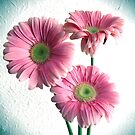 Spot Light On Gerbera Pink Daisies by daphsam