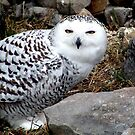 Snowy Owl by Johnny Furlotte