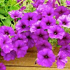 Purple Petunias by stephen Spindler
