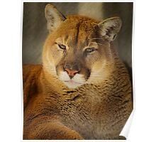 Portrait of a Mountain Lion Poster