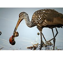 Limpkin Eating Breakfast Photographic Print