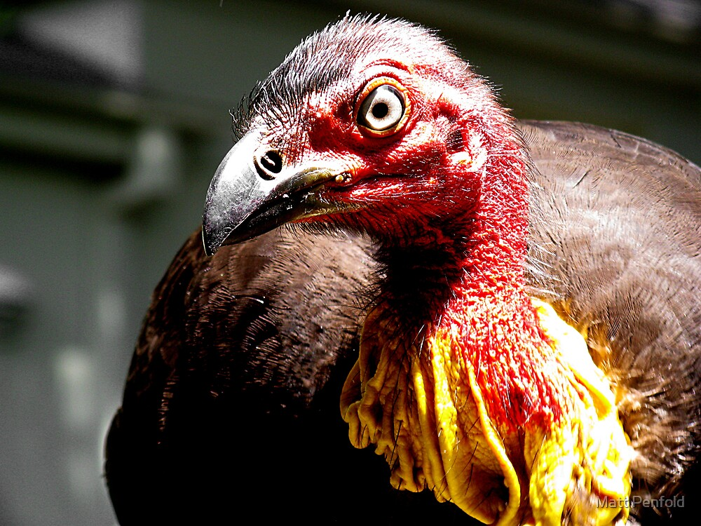 Brush Turkey by Matt Penfold