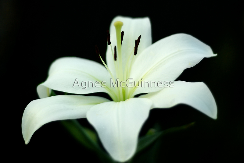 White lily 1 by Agnes McGuinness